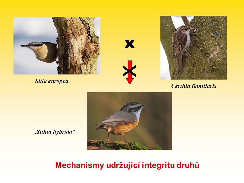 "Sitta europea Certhia familiaris ""Sithia hybrida"" x x Mechanismy udržující integritu druhů"
