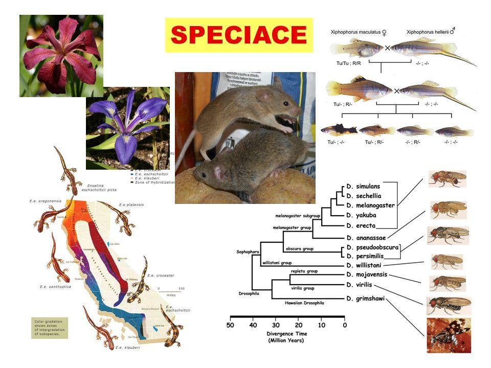 Parapatrická speciace gradient prostředí  genetický gradient  primární hybridní zóna různá selekce v obou částech  genetická divergence i při toku genů ekoton A A A A A a a a a a a
