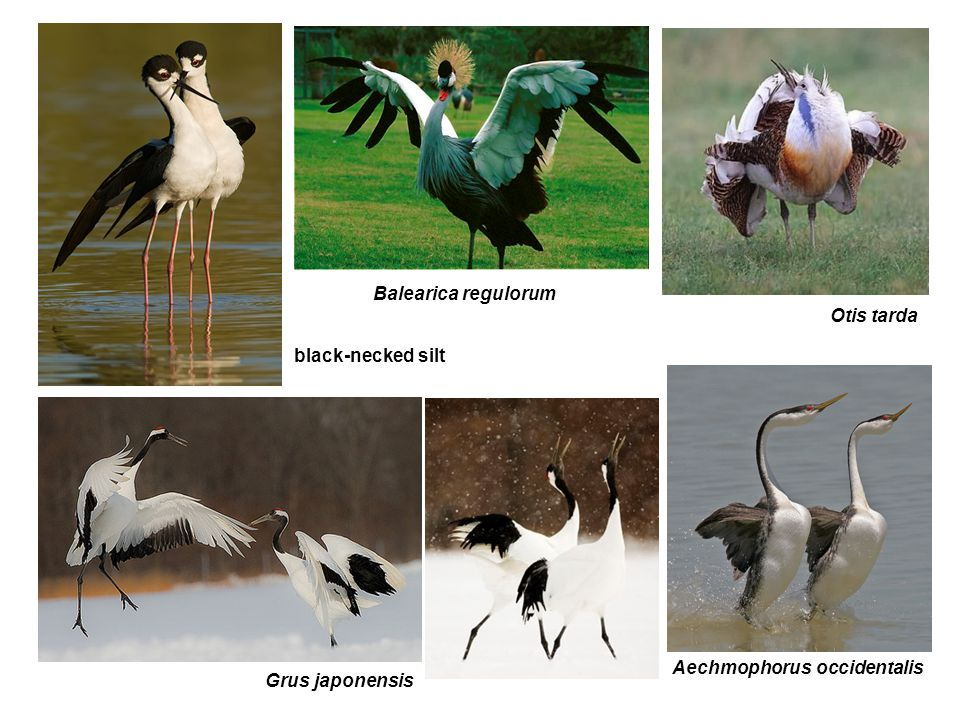 Grus japonensis Otis tarda Balearica regulorum black-necked silt Aechmophorus occidentalis