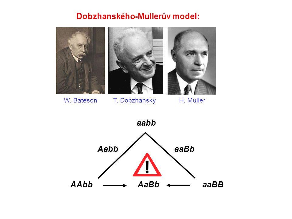 Dobzhanského-Mullerův model: aabb AabbaaBb AAbbaaBBAaBb W. BatesonT. DobzhanskyH. Muller