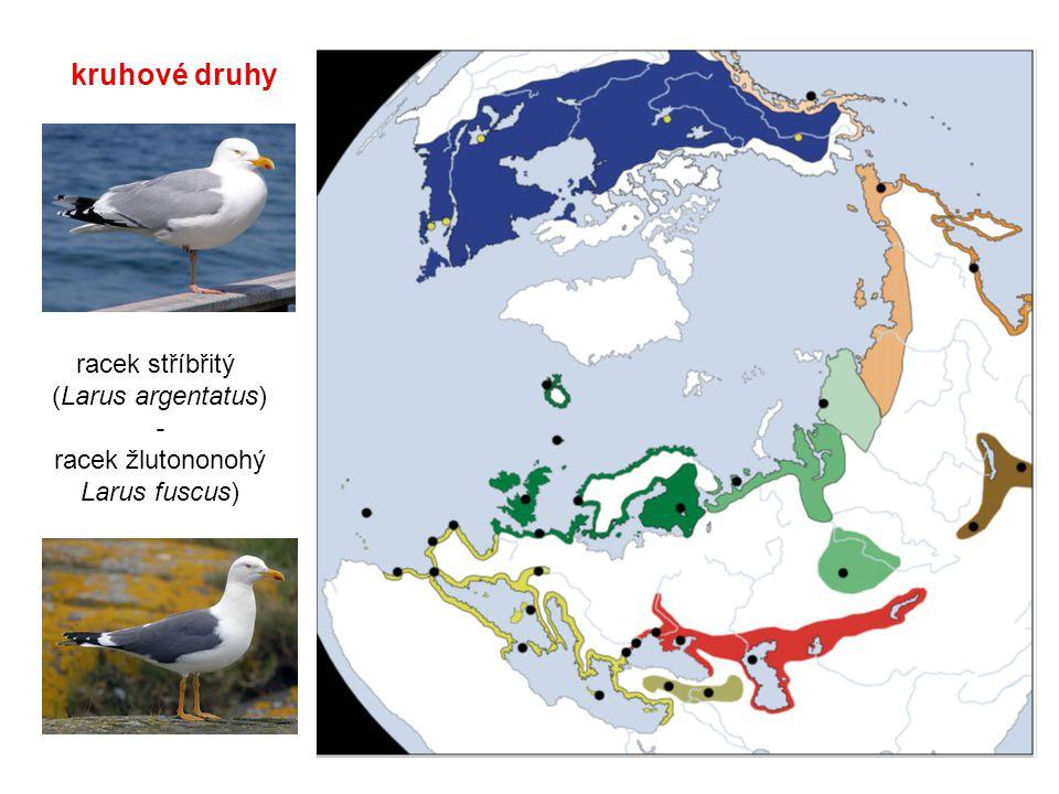 racek stříbřitý (Larus argentatus) - racek žlutononohý Larus fuscus)