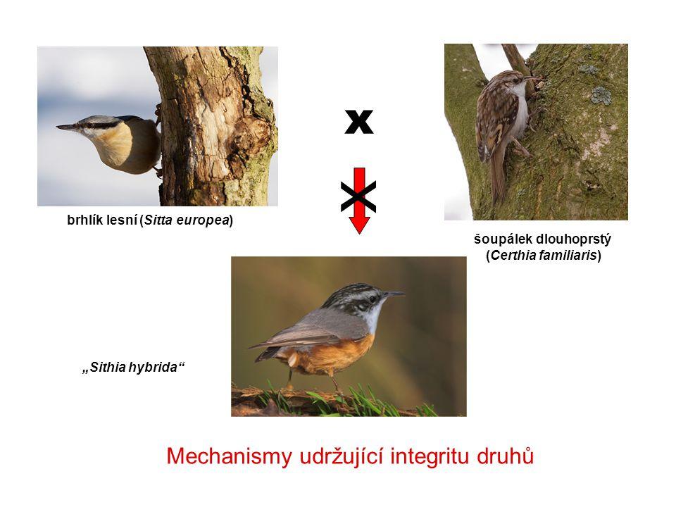 """brhlík lesní (Sitta europea) šoupálek dlouhoprstý (Certhia familiaris) """"Sithia hybrida"""" x x Mechanismy udržující integritu druhů"""
