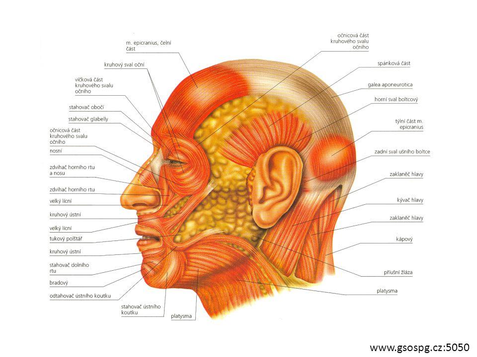 MIMICKÉ SVALY Činností mimických svalů vznikají různé výrazy obličeje (současně činnost několika svalů) Poloha: Od lebečních kostí do kůže v obličeji Mimika věrohodná jen u dětí – duševní stav U dospělých kontrola mozkovou kůrou ŽVÝKACÍ SVALY začínají na mozkové části lebky končí na dolní čelisti Kolem čelistního kloubu funkce: pohyb dolní čelistí www.gamepark.cz