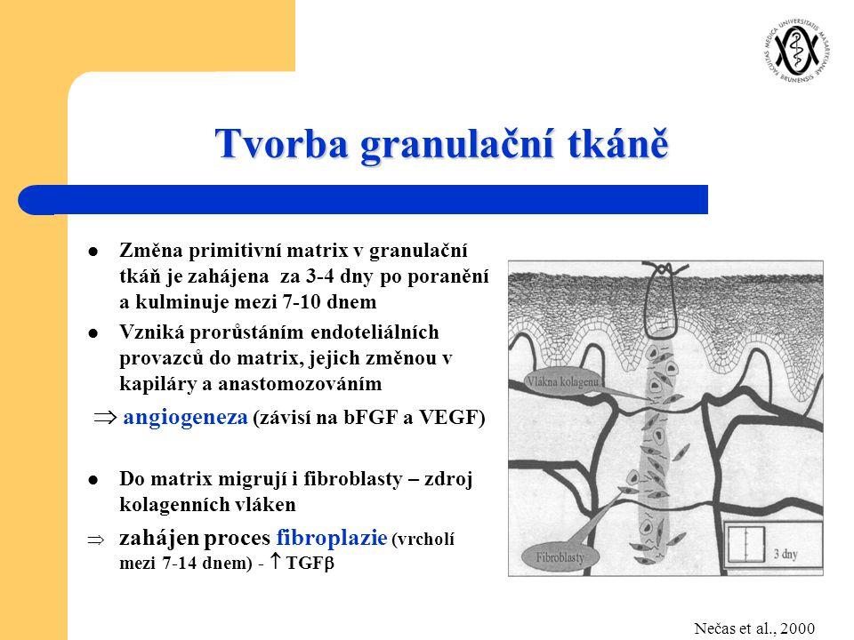 Tvorba granulační tkáně Změna primitivní matrix v granulační tkáň je zahájena za 3-4 dny po poranění a kulminuje mezi 7-10 dnem Vzniká prorůstáním end