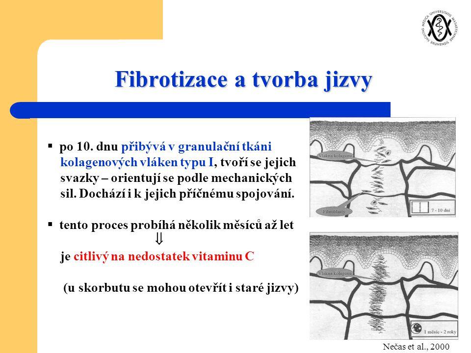Fibrotizace a tvorba jizvy  po 10. dnu přibývá v granulační tkáni kolagenových vláken typu I, tvoří se jejich svazky – orientují se podle mechanickýc