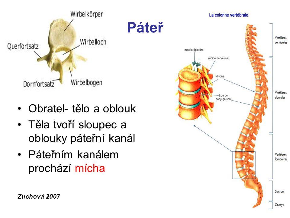 Páteř Obratel- tělo a oblouk Těla tvoří sloupec a oblouky páteřní kanál Páteřním kanálem prochází mícha Zuchová 2007