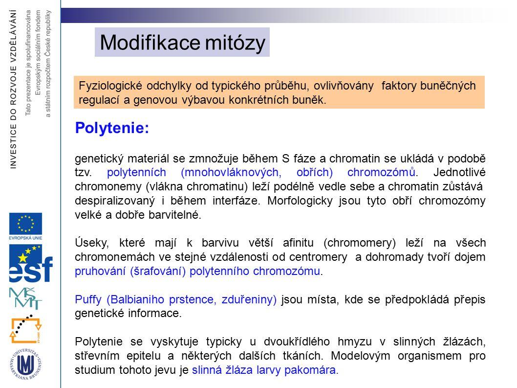 Modifikace mitózy Polytenie: genetický materiál se zmnožuje během S fáze a chromatin se ukládá v podobě tzv. polytenních (mnohovláknových, obřích) chr
