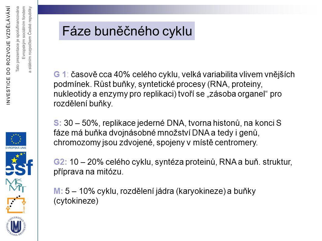 Rozdělení jádra tak, aby v dceřiných buňkách byly kompletní sady chromozómů Fáze mitózy: Profáze: kondenzace chromozómů a vznik mitotického aparátu Prometafáze: mizí jaderné obaly, formuje se kinetochor Metafáze: chromozómy v ekvatoriální rovině, maximální spiralizace Anafáze: chromatidy se oddělují v místě centromery, pohybují se k pólům dělícího vřetenka - 1  m/min Telofáze: mizí dělící aparát, tvoří se nový jaderný obal, dekondenzace chromozómů a rekonstrukce jadérka Fáze mitózy