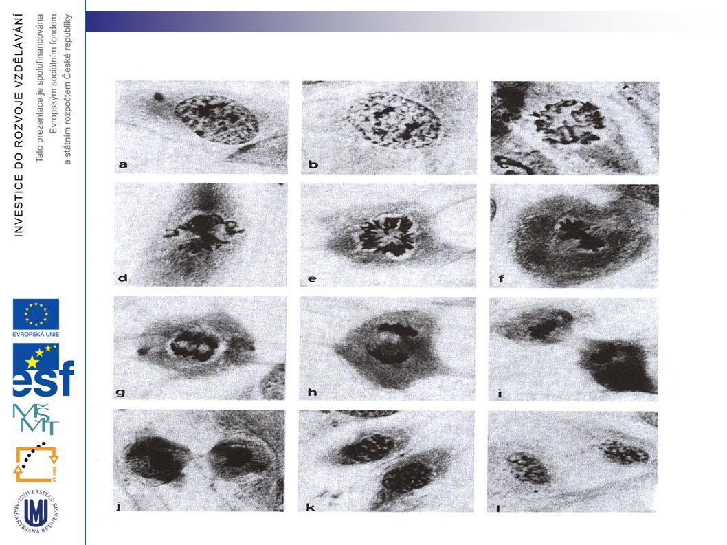Typy tubulů v dělícím aparátu astrální mikrotubuly
