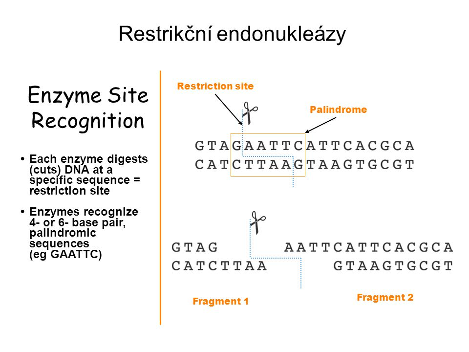 Enzyme Site Recognition Each enzyme digests (cuts) DNA at a specific sequence = restriction site Enzymes recognize 4- or 6- base pair, palindromic seq
