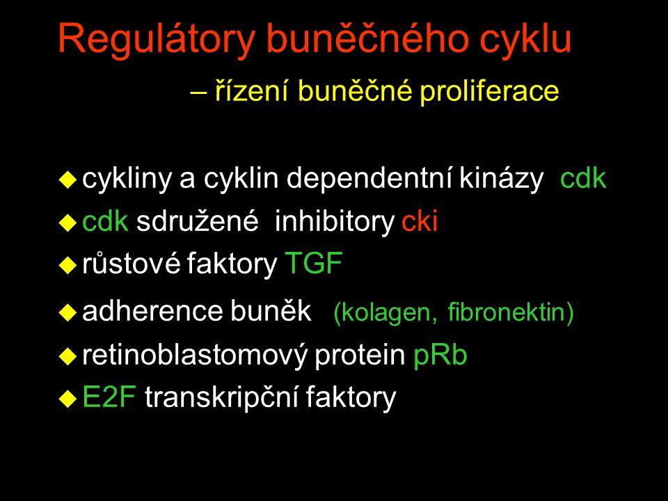 Regulátory buněčného cyklu – řízení buněčné proliferace u cykliny a cyklin dependentní kinázy cdk u cdk sdružené inhibitory cki u růstové faktory TGF