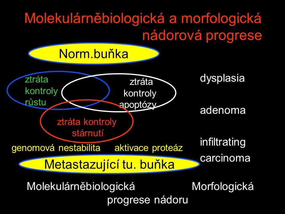 Molekulárněbiologická a morfologická nádorová progrese Norm.buňka ztráta kontroly růstu ztráta kontroly apoptózy ztráta kontroly stárnutí Metastazujíc