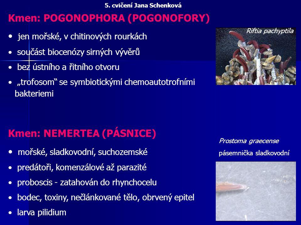 """Kmen: POGONOPHORA (POGONOFORY) jen mořské, v chitinových rourkách součást biocenózy sirných vývěrů bez ústního a řitního otvoru """"trofosom"""" se symbioti"""