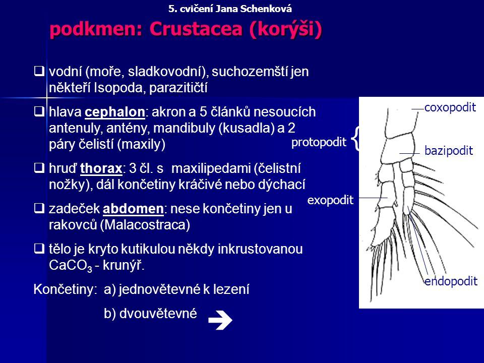 podkmen: Crustacea (korýši) qvodní (moře, sladkovodní), suchozemští jen někteří Isopoda, parazitičtí qhlava cephalon: akron a 5 článků nesoucích anten