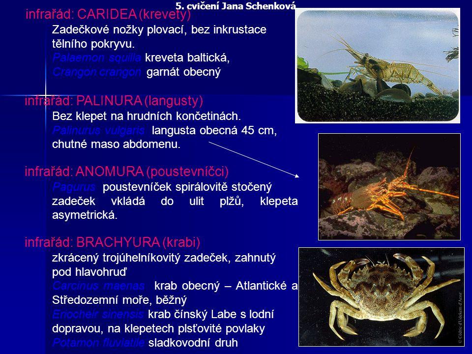 infrařád: CARIDEA (krevety) Zadečkové nožky plovací, bez inkrustace tělního pokryvu. Palaemon squilla kreveta baltická, Crangoncrangon garnát obecný i