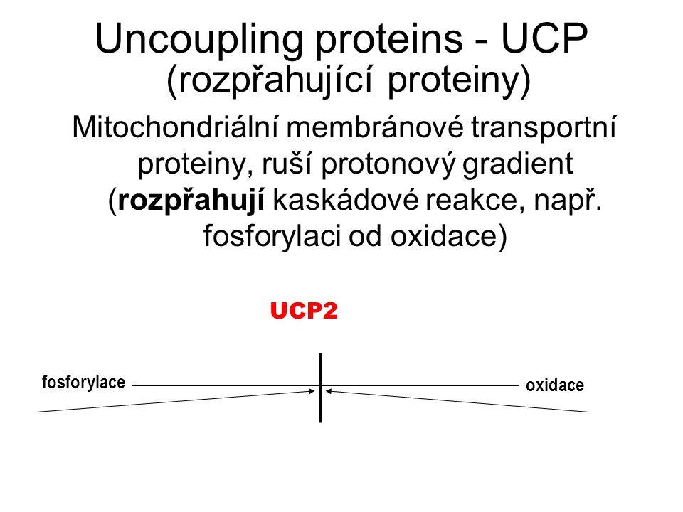Uncoupling proteins - UCP (rozpřahující proteiny) Mitochondriální membránové transportní proteiny, ruší protonový gradient (rozpřahují kaskádové reakc
