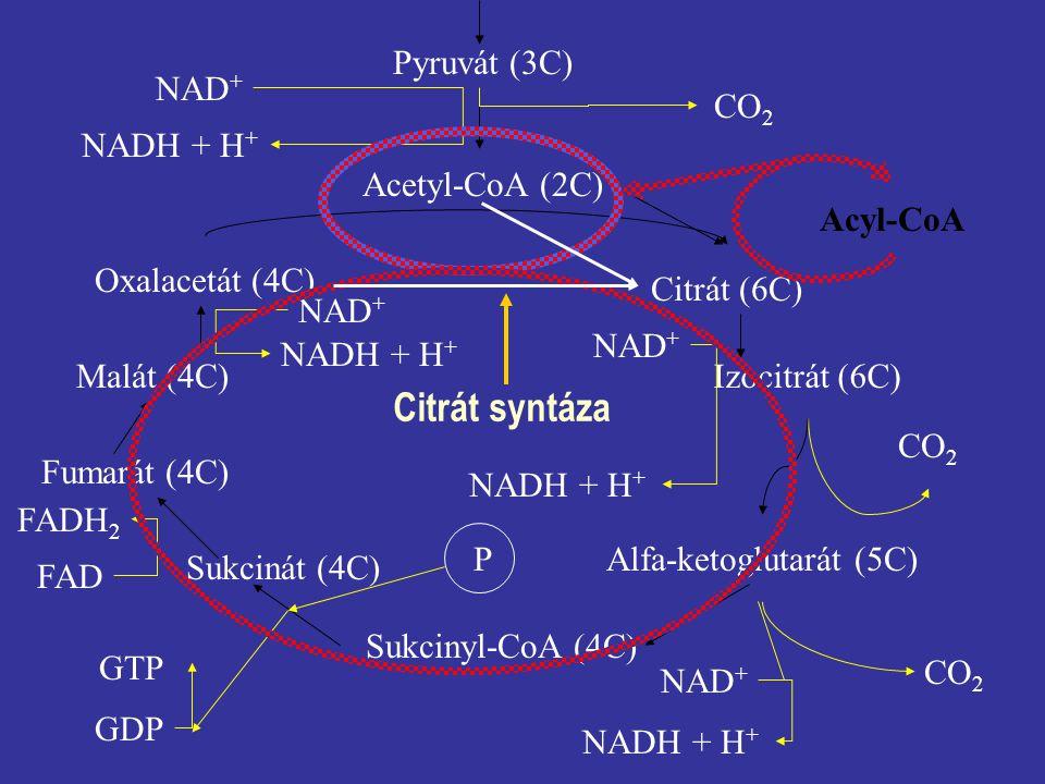 Pyruvát (3C) CO 2 NAD + NADH + H + Acetyl-CoA (2C) Oxalacetát (4C) Citrát (6C) Izocitrát (6C) Alfa-ketoglutarát (5C) Sukcinyl-CoA (4C) Sukcinát (4C) Fumarát (4C) Malát (4C) CO 2 NAD + NADH + H + NAD + CO 2 GTP GDP P FADH 2 FAD NAD + NADH + H + Acyl-CoA Citrát syntáza