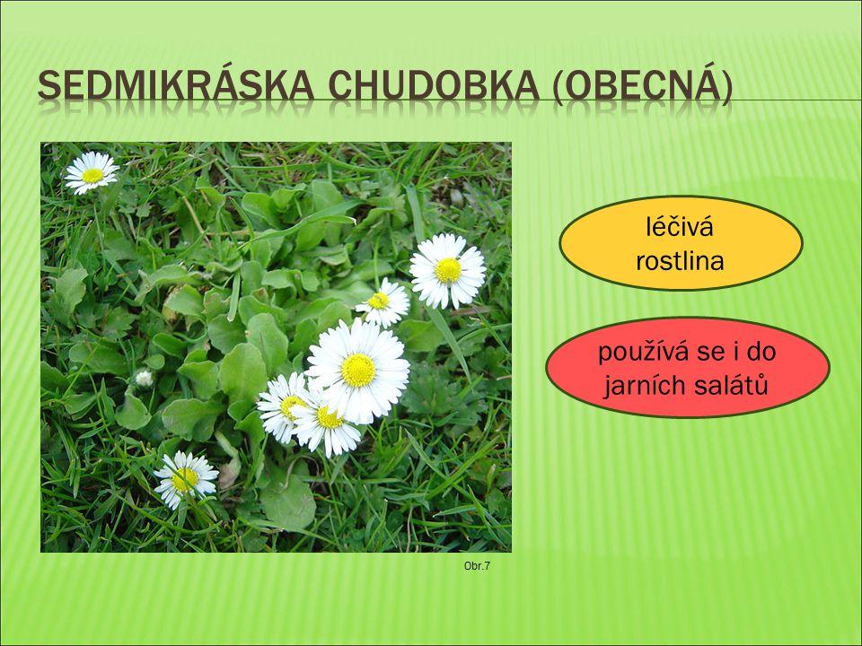 Obr.7 léčivá rostlina používá se i do jarních salátů
