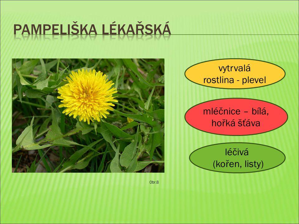 Obr.8 vytrvalá rostlina - plevel mléčnice – bílá, hořká šťáva léčivá (kořen, listy)