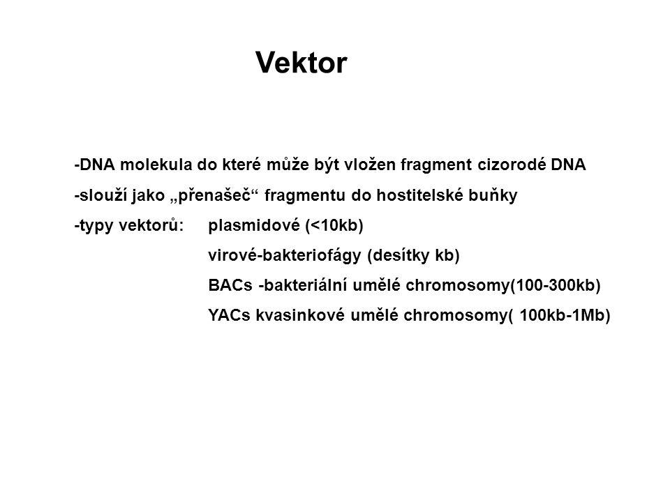 """-DNA molekula do které může být vložen fragment cizorodé DNA -slouží jako """"přenašeč"""" fragmentu do hostitelské buňky -typy vektorů: plasmidové (<10kb)"""