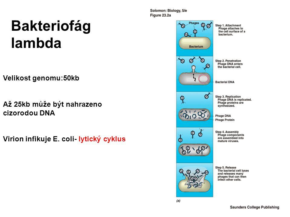 Bakteriofág lambda Velikost genomu:50kb Až 25kb může být nahrazeno cizorodou DNA Virion infikuje E. coli- lytický cyklus