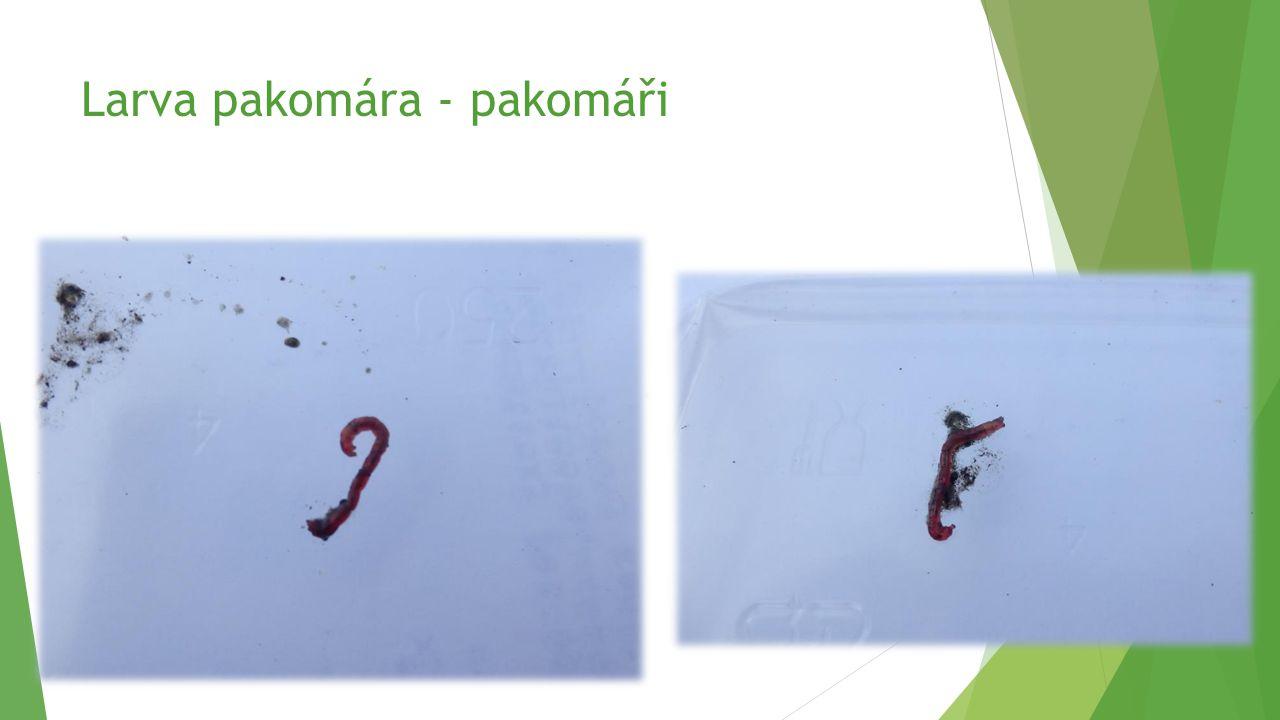 Larva pakomára - pakomáři