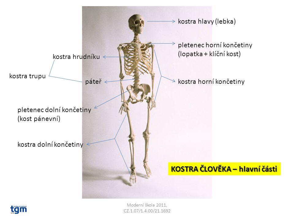 kostra hlavy (lebka) kostra hrudníku páteř kostra dolní končetiny kostra horní končetiny pletenec horní končetiny (lopatka + klíční kost) pletenec dolní končetiny (kost pánevní) kostra trupu KOSTRA ČLOVĚKA – hlavní části