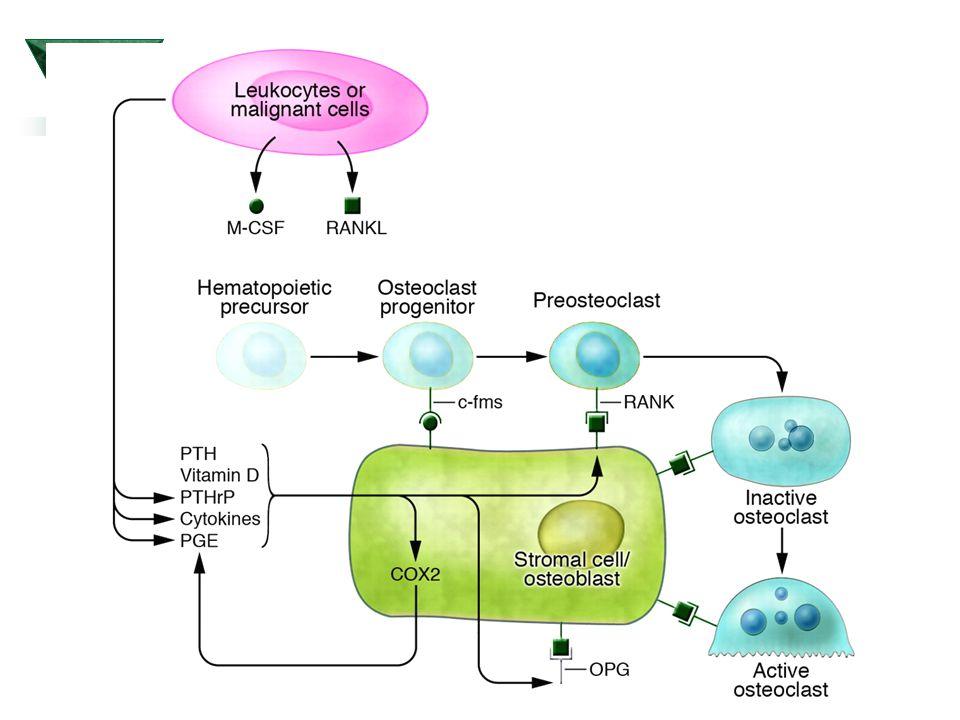 Účinky PTH  2.
