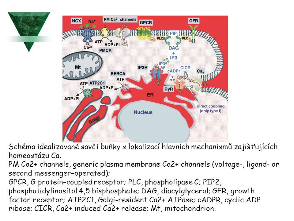 """Extracelulární """"calcium-sensing receptor (kalciový senzor )  Je členem členem rodiny G protein-coupled receptor se sedmi hydrofilními transmembránovými helixy, zakotvenými v plasmatické membráně."""