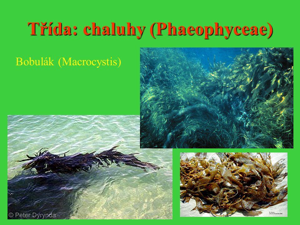 Třída: chaluhy (Phaeophyceae) Bobulák (Macrocystis)