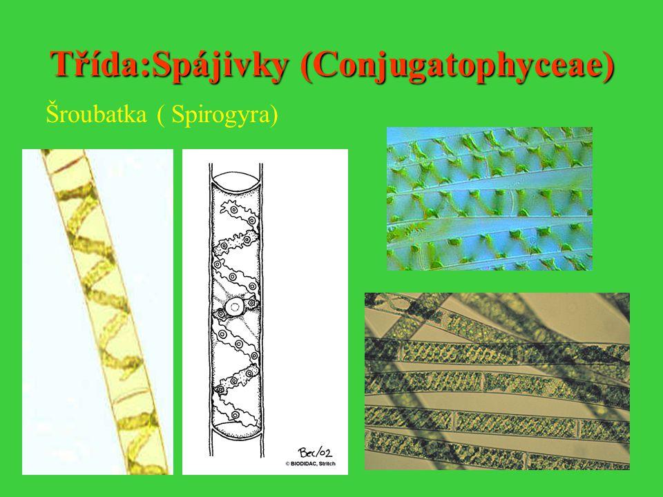 Třída:Spájivky (Conjugatophyceae) Šroubatka ( Spirogyra)
