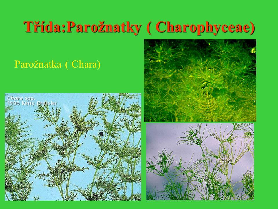 Třída:Parožnatky ( Charophyceae) Parožnatka ( Chara)