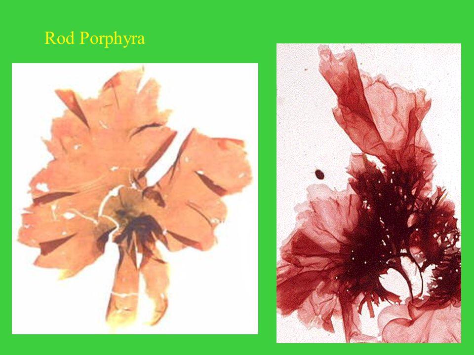 Rod Porphyra