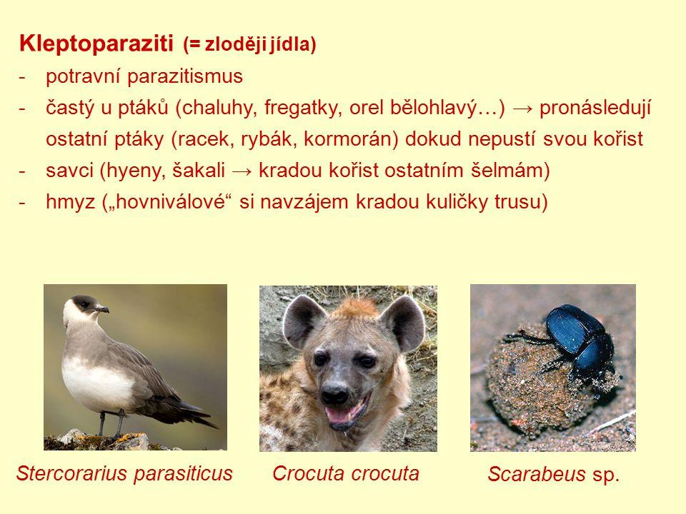 Kleptoparaziti (= zloději jídla) -potravní parazitismus -častý u ptáků (chaluhy, fregatky, orel bělohlavý…) → pronásledují ostatní ptáky (racek, rybák