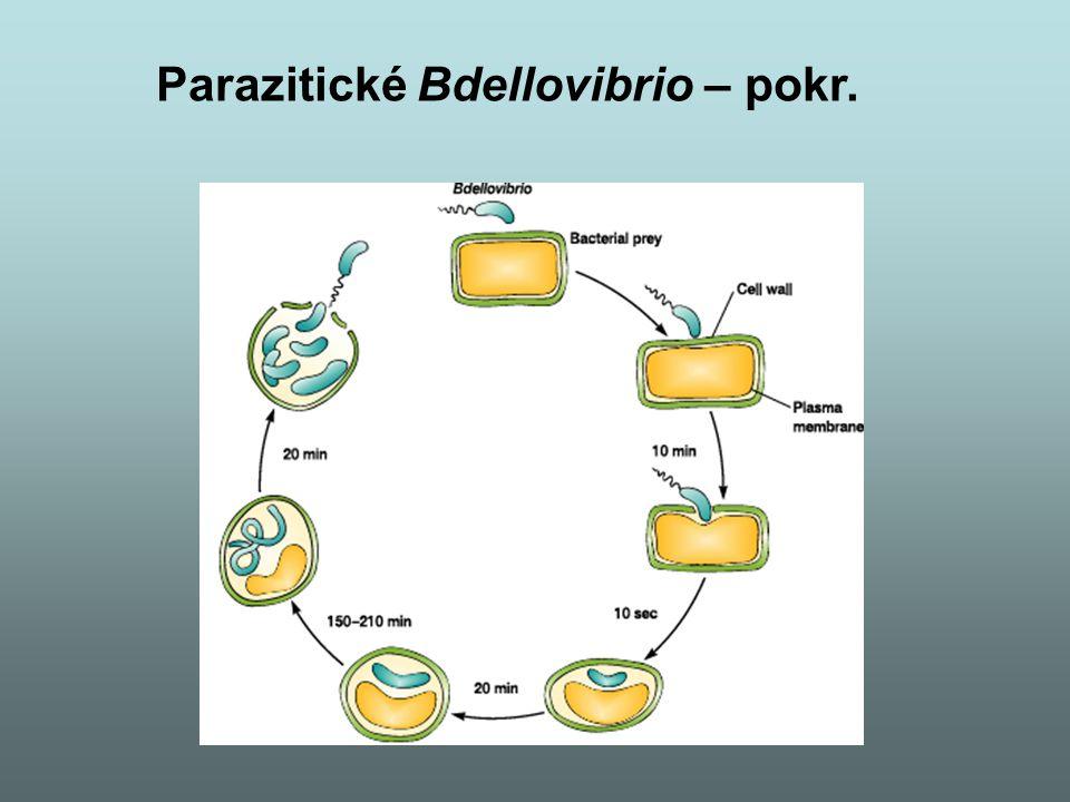Parazitické Bdellovibrio – pokr.