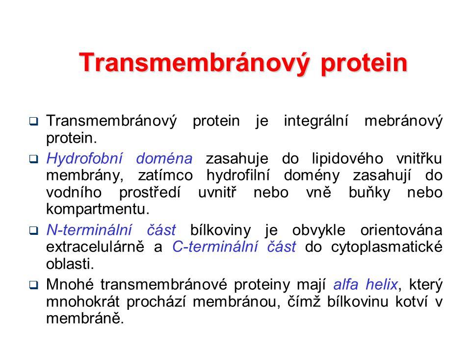 Transmembránový protein  Transmembránový protein je integrální mebránový protein.  Hydrofobní doména zasahuje do lipidového vnitřku membrány, zatímc