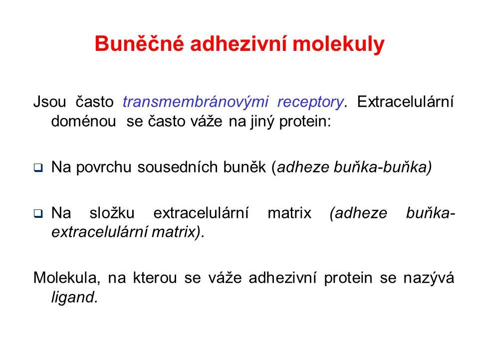 Buněčné adhezivní molekuly Jsou často transmembránovými receptory. Extracelulární doménou se často váže na jiný protein:  Na povrchu sousedních buněk