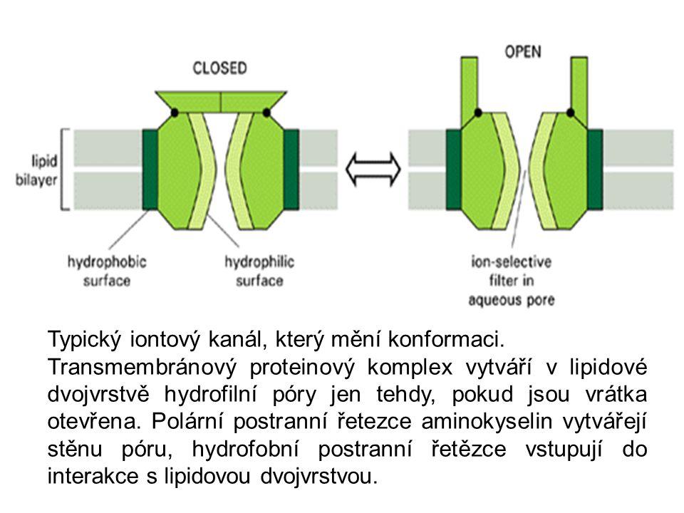 Typický iontový kanál, který mění konformaci. Transmembránový proteinový komplex vytváří v lipidové dvojvrstvě hydrofilní póry jen tehdy, pokud jsou v