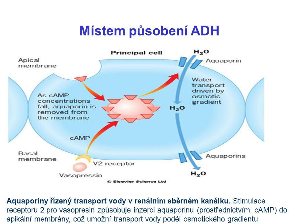 Aquaporiny řízený transport vody v renálním sběrném kanálku.