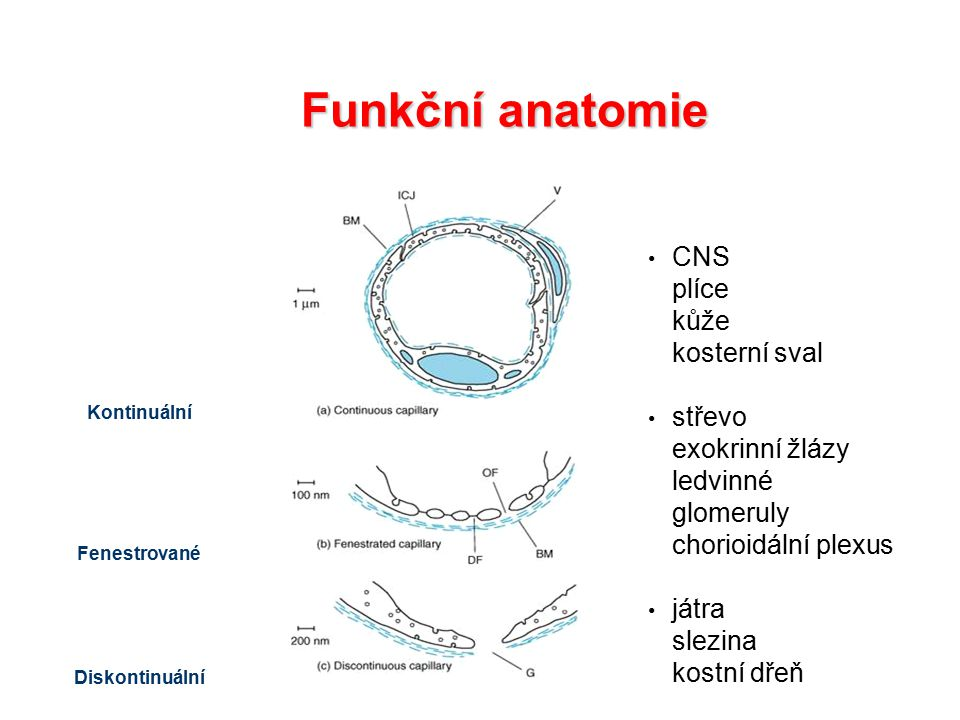 CNS plíce kůže kosterní sval střevo exokrinní žlázy ledvinné glomeruly chorioidální plexus játra slezina kostní dřeň Kontinuální Fenestrované Diskontinuální Funkční anatomie