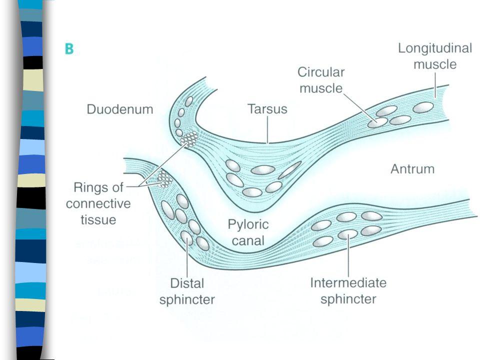 Patologické stavy n Gastritis –Akutní - stresová (Cushingův vřed), infekční, postradiační, korozivní –Chronická A - autoimunitní poškození převážně parietálních bb., B - zánět antra způsobený H.