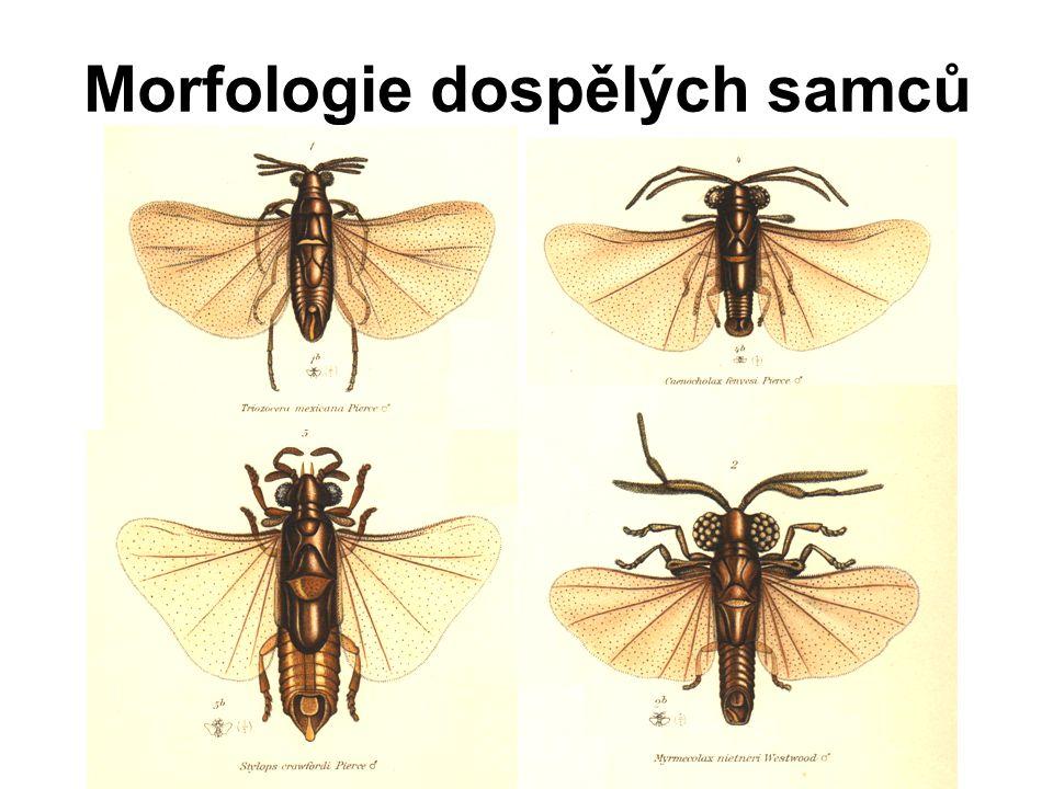 Morfologie dospělých samců