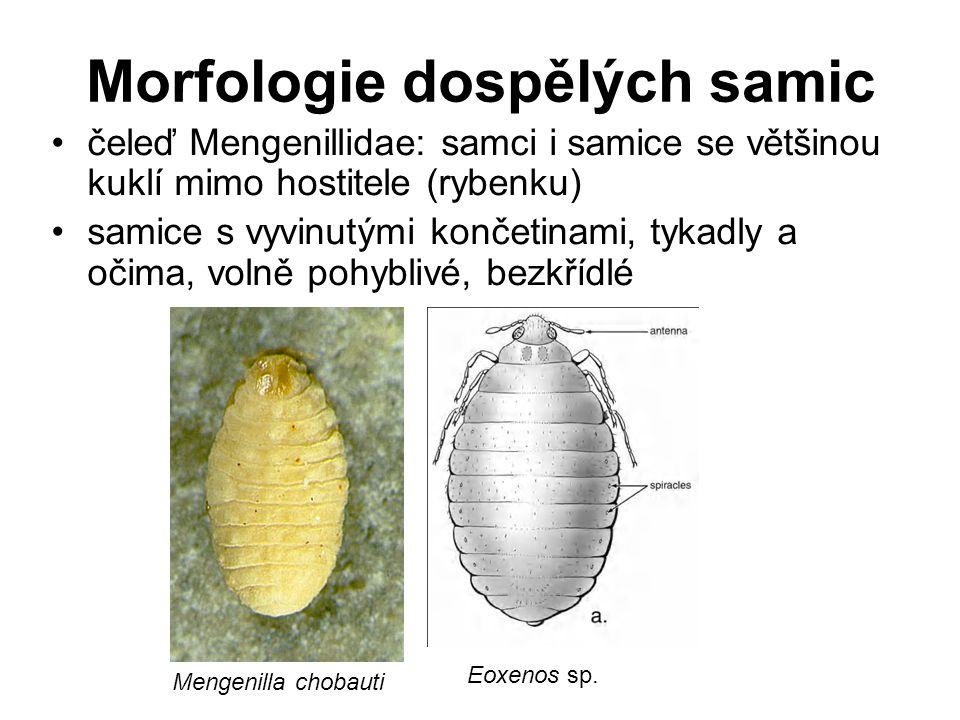Morfologie dospělých samic čeleď Mengenillidae: samci i samice se většinou kuklí mimo hostitele (rybenku) samice s vyvinutými končetinami, tykadly a o
