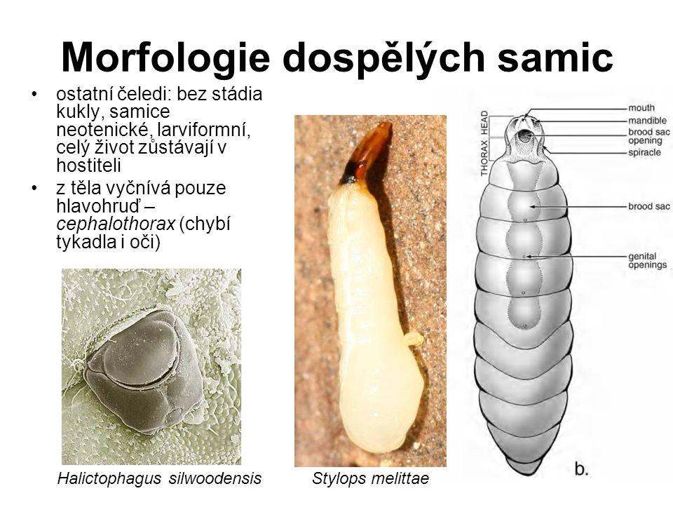 Morfologie dospělých samic ostatní čeledi: bez stádia kukly, samice neotenické, larviformní, celý život zůstávají v hostiteli z těla vyčnívá pouze hla