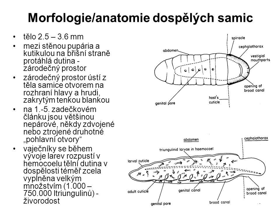 Morfologie/anatomie dospělých samic tělo 2.5 – 3.6 mm mezi stěnou pupária a kutikulou na břišní straně protáhlá dutina - zárodečný prostor zárodečný p