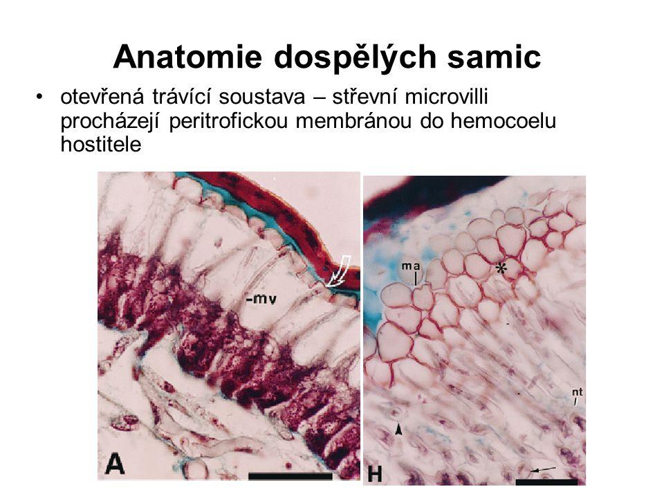 Anatomie dospělých samic otevřená trávící soustava – střevní microvilli procházejí peritrofickou membránou do hemocoelu hostitele