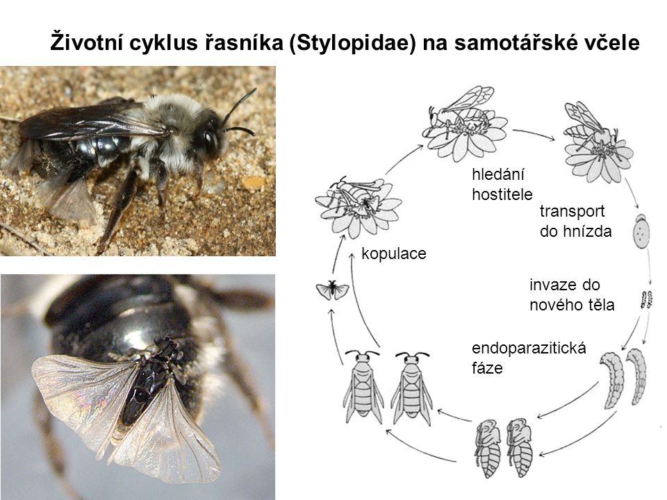 Životní cyklus řasníka (Stylopidae) na samotářské včele kopulace hledání hostitele transport do hnízda invaze do nového těla endoparazitická fáze