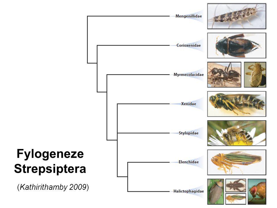 Fylogeneze Strepsiptera (Kathirithamby 2009)