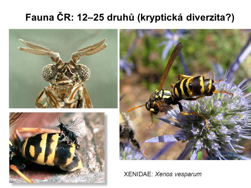 Fauna ČR: 12–25 druhů (kryptická diverzita?) XENIDAE: Xenos vesparum