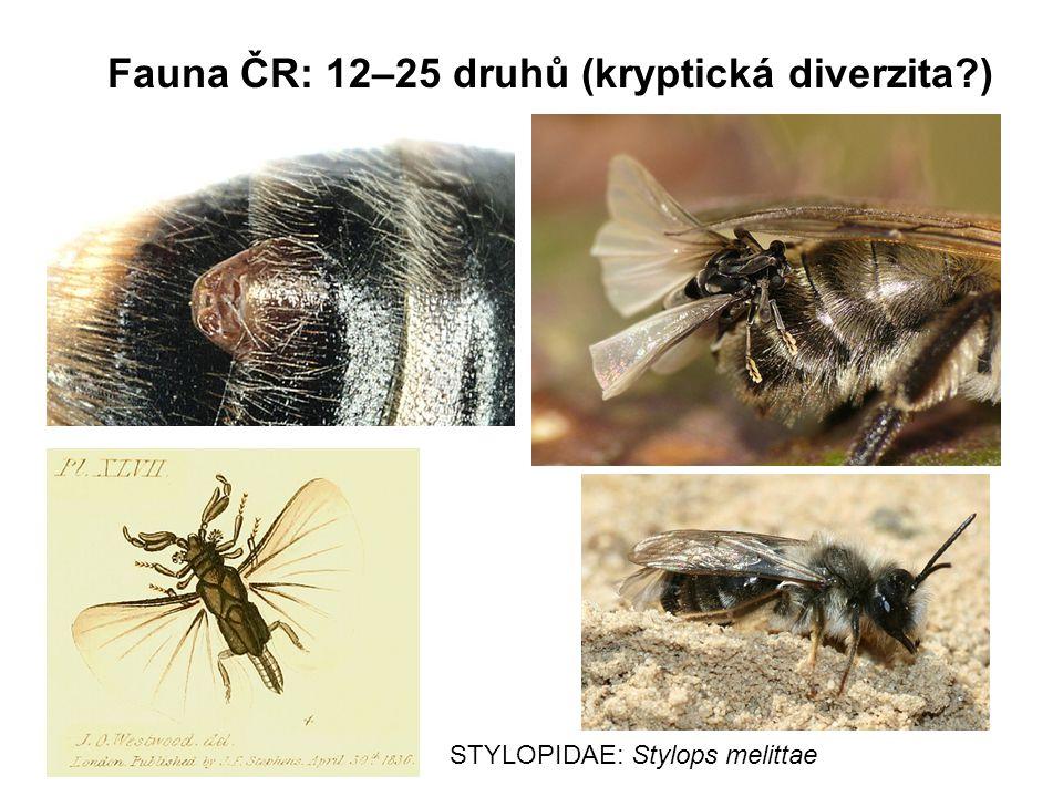 Fauna ČR: 12–25 druhů (kryptická diverzita?) STYLOPIDAE: Stylops melittae